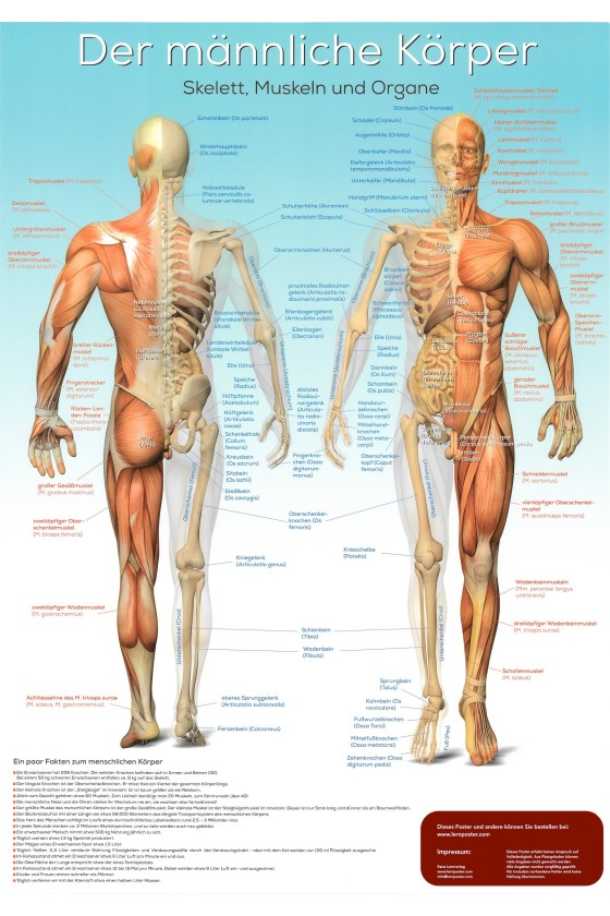 Die Anatomie des männlichen Körper als Poster mit lateinischen Bezeichnungen