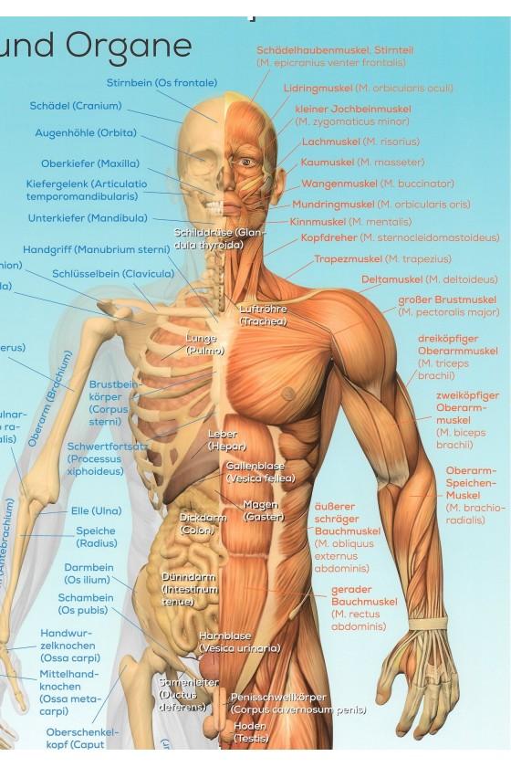 Der männliche Körper