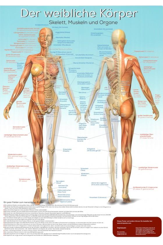 Die Anatonie des weibichen Körpers auf einem Poster inkl. der lateinischen Bezeichnung.