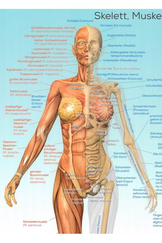 Der weibliche Körper